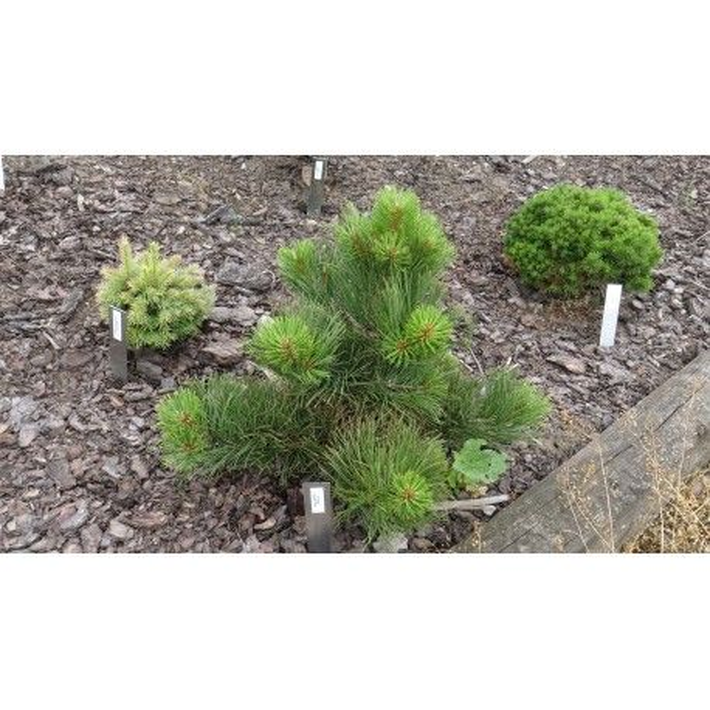 Pinus Jeffreyi Paula