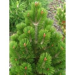 Pinus leucodermis Karmel