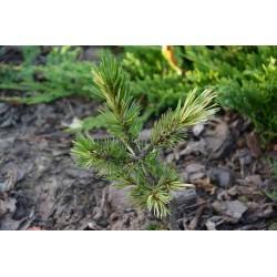 Pinus aristata Boyko 3