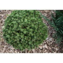 Pinus mugo Green Globe