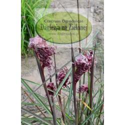 Miscanthus sinensis Boucle