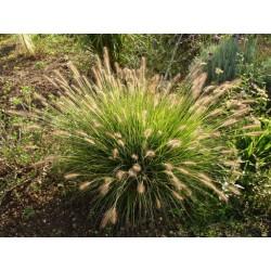 Pennisetum alopecuroides Gelbstiel