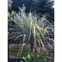 Miscanthus sinensis Silberpfeil