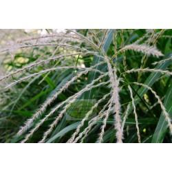 Miscanthus sinensis Blondo