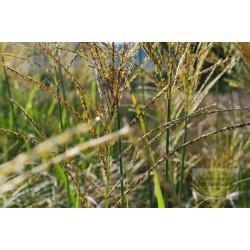 Miscanthus sinensis Goldglanz