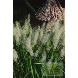 Calamagrostis brchytricha