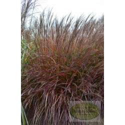 Miscanthus sinensis Purple Fall
