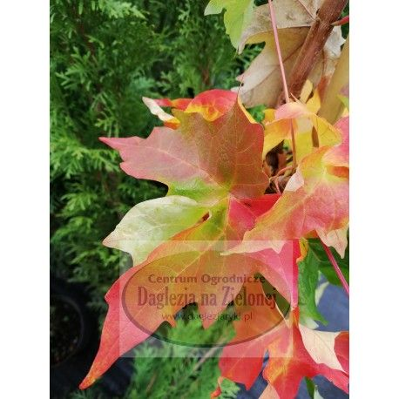 Acer saccharum  Shawn's Pillar