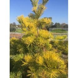 Pinus pungens Johny's Goldstrike