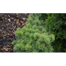 Pinus parviflora Becars