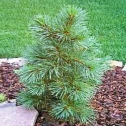 Pinus koraiensis Witon