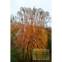 Miscanthus sinensis Memory