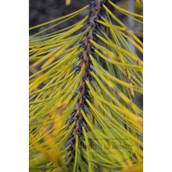 Pinus ponderosa Jaune