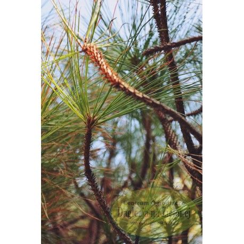 Pinus jeffreyi Joppi