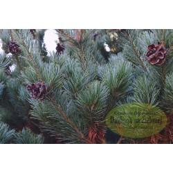 Pinus parviflora Billie