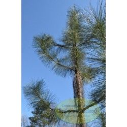Pinus ponderosa Penaz