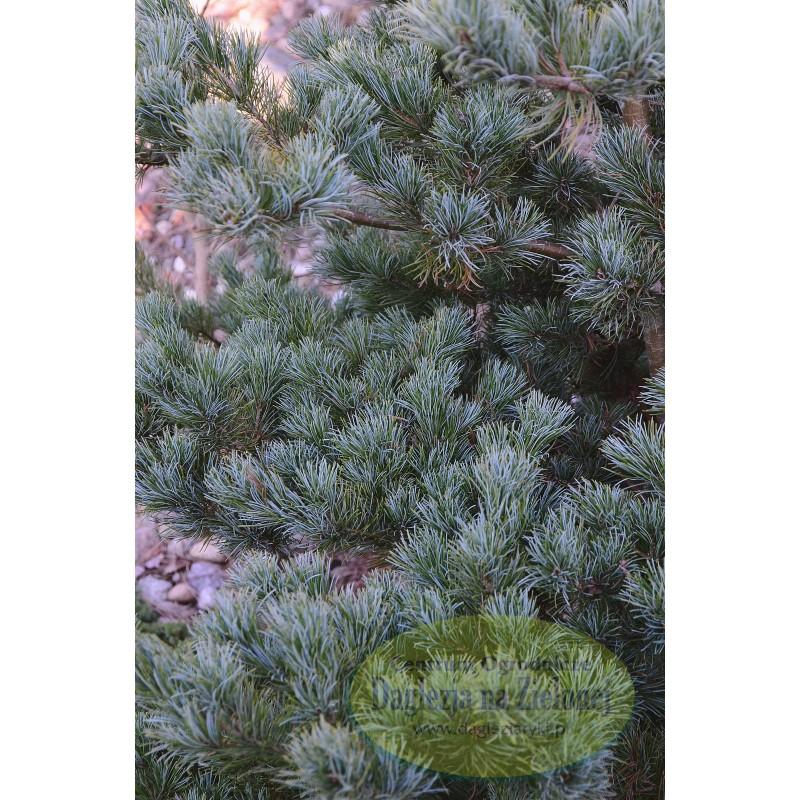 Pinus parviflora M-par 6