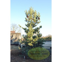 Pinus parviflora Frankenhof