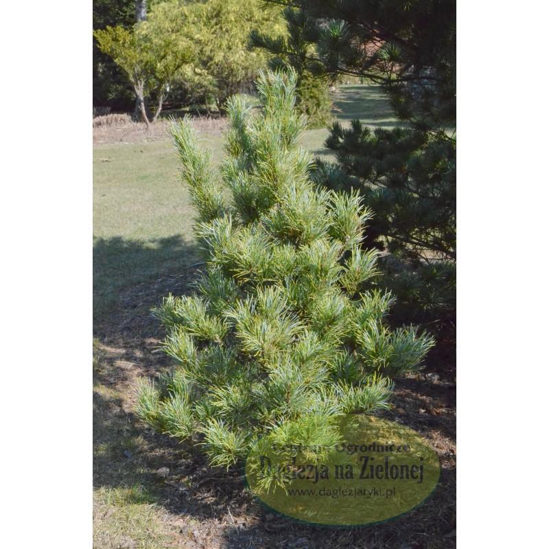 Pinus parviflora Hatchichi