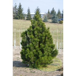 Pinus leucodermis Emerald Arrow