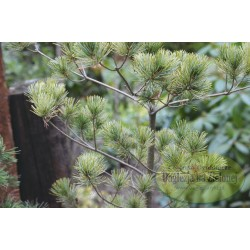 Pinus parviflora Ogon Goyo