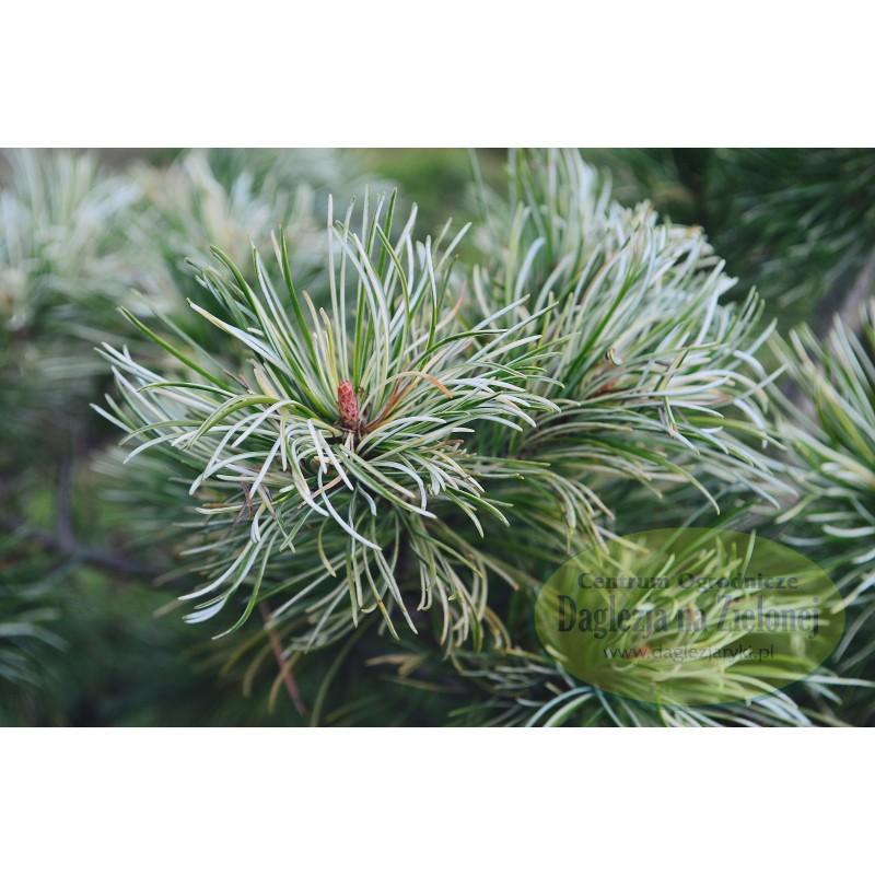 Pinus parviflora Tani-mano-uki