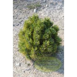Pinus leucodermis Thessaloniki