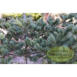 Pinus parviflora Floppy Joe