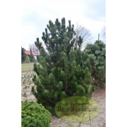 Pinus leucodermis Litle Gem
