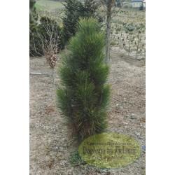 Pinus nigra Zimmer
