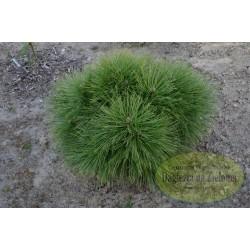 Pinus rigida Szuma