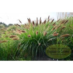 Pennisetum alopecuroides Cassian's Choice
