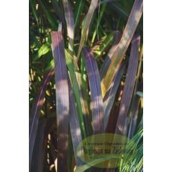 Miscanthus sinensis Rosi