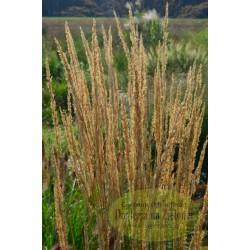 Calamagrostis brachytricha Summer Fountain