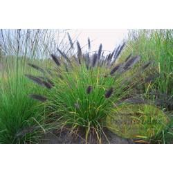 Pennisetum alopecuroides Gert