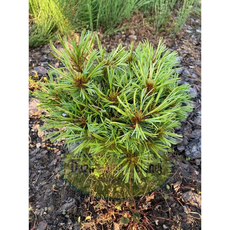 Pinus koraiensis Oculus Draconis WB