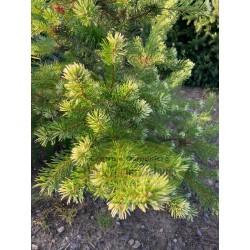 Pinus contorta VANC BILA