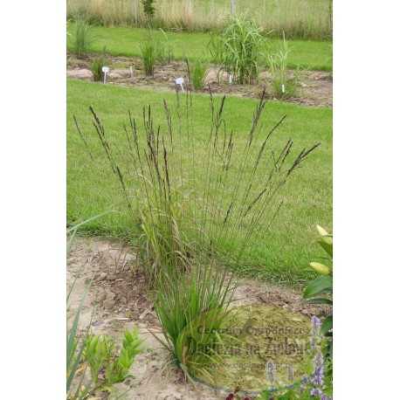 Molinia caerulea ssp. arundinacea  Black Arrows
