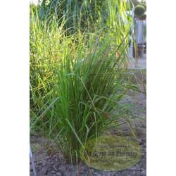 Eragrostis trichodes Bend