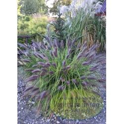 Pennisetum alopecuroides Black Beauty
