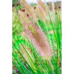 Pennisetum alopecuroides Weserbergland