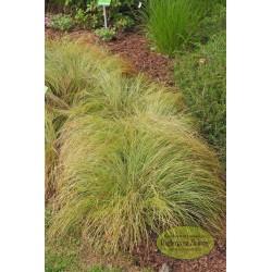 Carex umbrosa subsp. sabynensis Thinny Thin