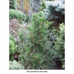 Pinus leucodermis Atz Saule