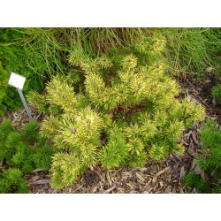 Pinus mugo Sunshine