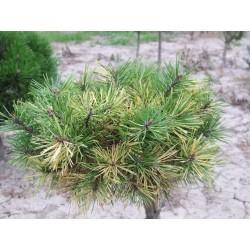 Pinus mugo WAM-2006