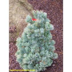 Pinus parviflora Pent.Azuma